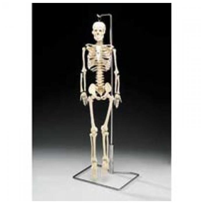 Mr. Thrifty Skeleton - An economical teaching skeleton!