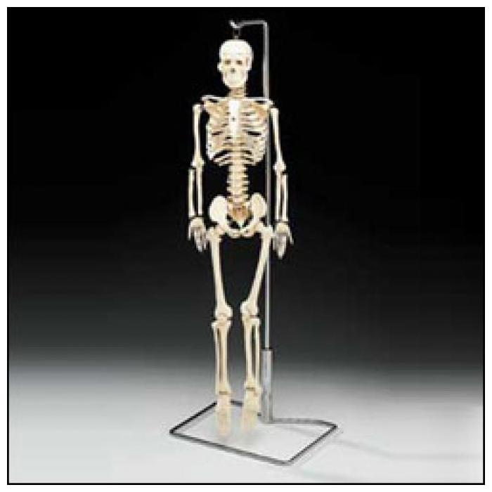 Mr. Thrifty Skeleton with Spinal Nerves - Flexible skeleton with spinal nerves!