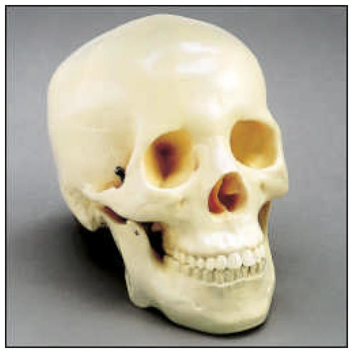 Budget Two-Piece Skull - Life-size and realistic