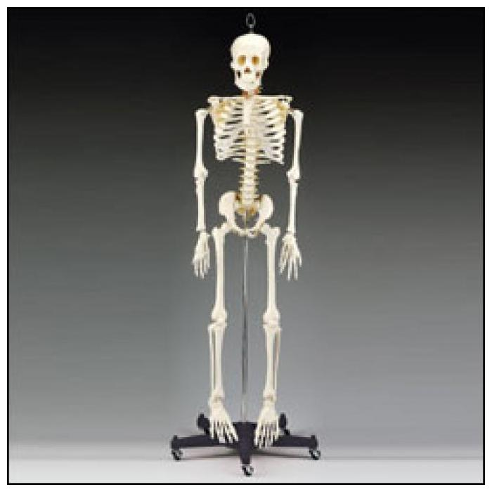 Budget Bart 4-Foot Skeleton - Easy to handle, anatomically correct and economically priced!